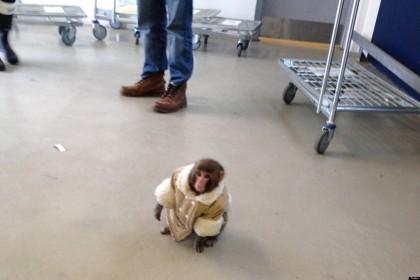 Canada-Wandering Monkey